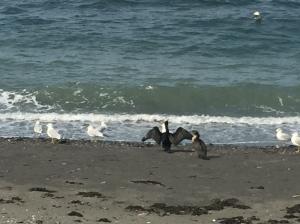 Q cormorant